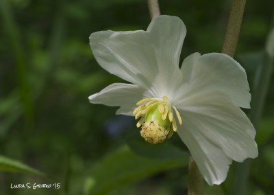 Mayapple Blossom