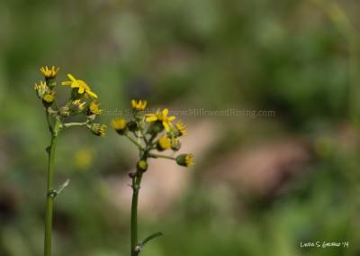 Golden Ragwort Pair