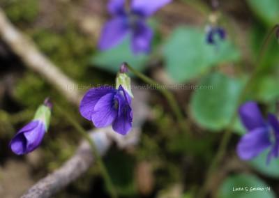 Purple Wood Violets