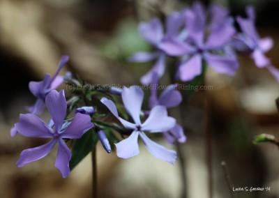 Blue Phlox Pair