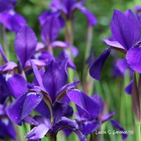 Purple Iris Pinwheel