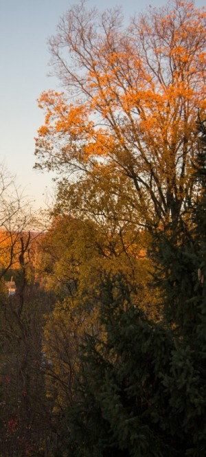 Pignut Hickory Tree Autumn Glory