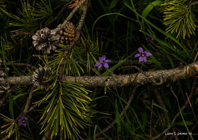 Blue-eyed Grass in Downed Pine