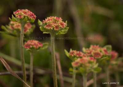 Buckwheat Flowers  in Perfect Alignment