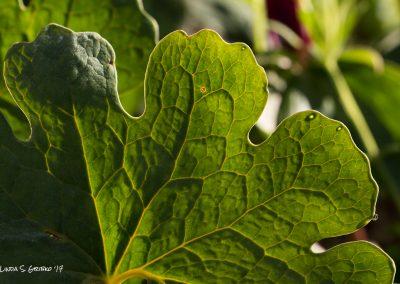 Bloodroot Leaf Study