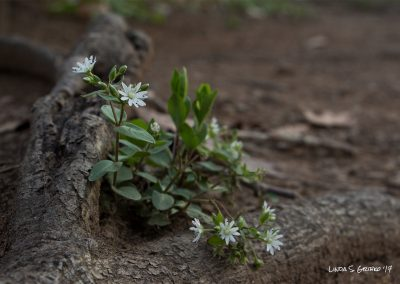 Chickweed Tucked in a Root