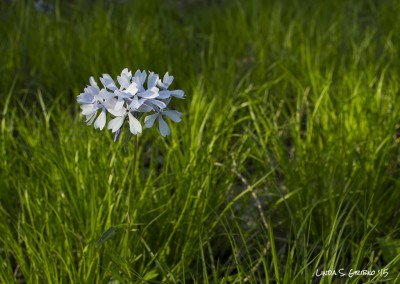 Phlox in Grass