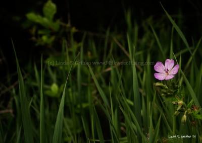 Sticky Geranium in Green Grass