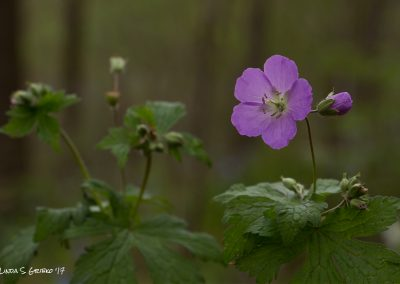 Painterly Geranium