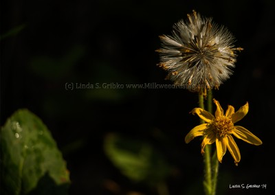 Yellow Salsify Flower and Seed Head