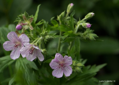 Sticky Geraniums with Dew Drops