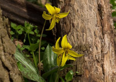 Still Life with Trout Lilies