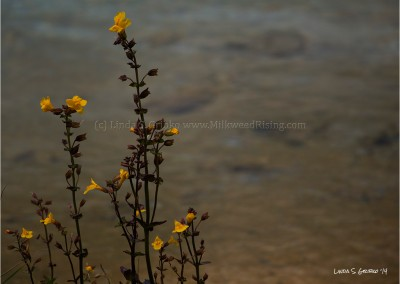 Yellow Monkeyflowers at Clear Pond