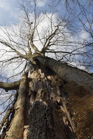 Hickory Scar